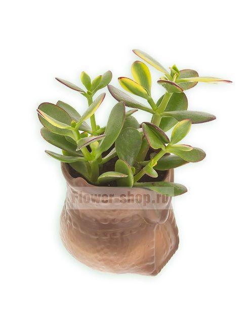 Растение «Денежное деревце»