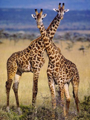 Masai Giraffes, Giraffa Camelopardalis Tippelskirchi, Masai Mara Reserve, Kenya Photographic Print by Frans Lanting at AllPosters.com