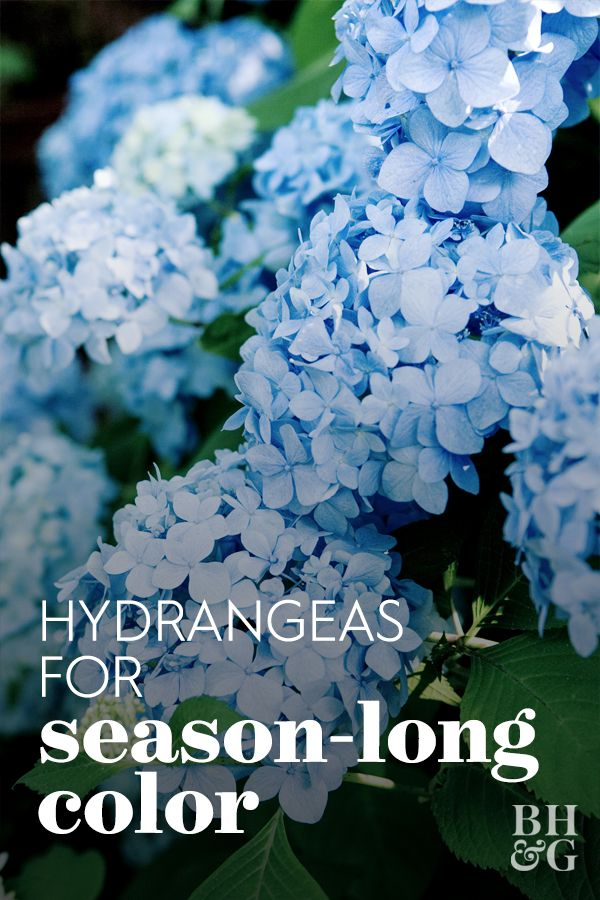 Here S How To Choose The Best Hydrangeas For Your Garden Hydrangea Care Endless Summer Hydrangea Care Types Of Hydrangeas