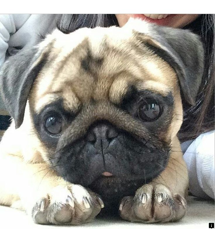 Just Click The Link For More Information Pugs For Sale Near Me