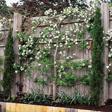 Espalier = a French tecnique of growing a tree on a horizontal plane. I want to learn this!  From Small-Space Landscape Slide-show by BHG.com