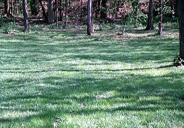Managing Lawns in Shade Areas--Lawns under the shade of trees are typically thin, weak, and of poor quality. Maintaining a quality stand of grass under the shade of trees can be difficult and requires modifications in lawn care practices. Shade-tolerant grasses still need an acceptable amount of light to grow. In addition, lawns in shade areas generally do not have the ability to tolerate or recover from stress problems as compared to lawns growing in full sun.