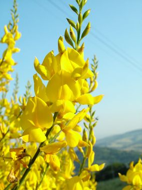 Ginestra - grows in the wild in Italy and around the Mediterranean