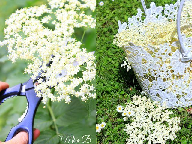 Miss Blueberrymuffin's kitchen: Holunderblüten pflücken [Wann, wie und wo?] blüht der Holunder von Ende Mai bis Anfang Juli. An einem schattigen Plätzchen zieren sich die Blüten eventuell etwas und blühen später. Geerntet werden sollte nicht nachdem es geregnet hat, da der Regen den Blütenstaub abwaschen könnte. Zu heiß sollte es jedoch auch nicht sein, da die Blüten dann austrocknen können und an Aroma verlieren.