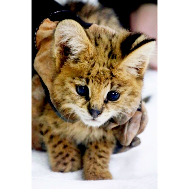 Meet our newest recruit, a little serval kitten! He was confiscated by a local man from some children in a village who were taunting it, and brought to us. We don't know exactly what had happened to him before that, but he was most likely taken away from his mother in the wild and destined …