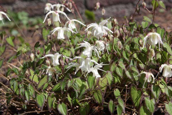 Epimedium grandifl. higoense 'Bandit' elfenbloem, laagblijvend 15cm, bloei 4-5