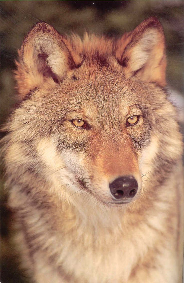 617 best wolves images on pinterest animals wild animals and