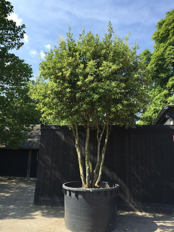 De meerstammige Steeneik is ideaal als afbakening of sierboom in uw tuin. Kijk op Hoveniersbedrijf www.zanderik.nl voor meer informatie.