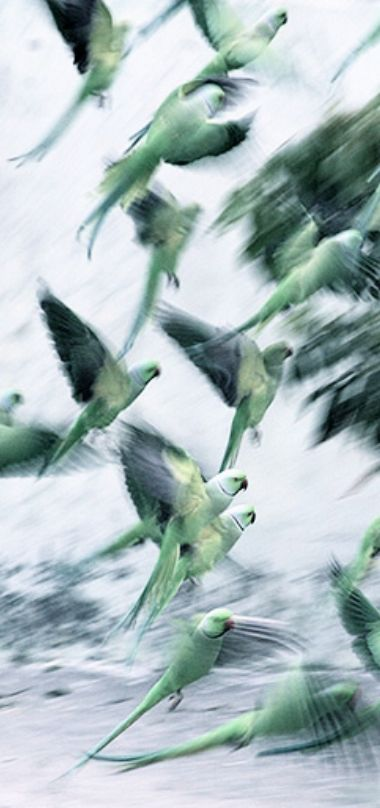 Jammu, India: Parrots take off in the courtyard of a house after eating grain by Jaipal Singh/EPA