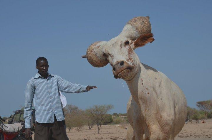 Kori cattle