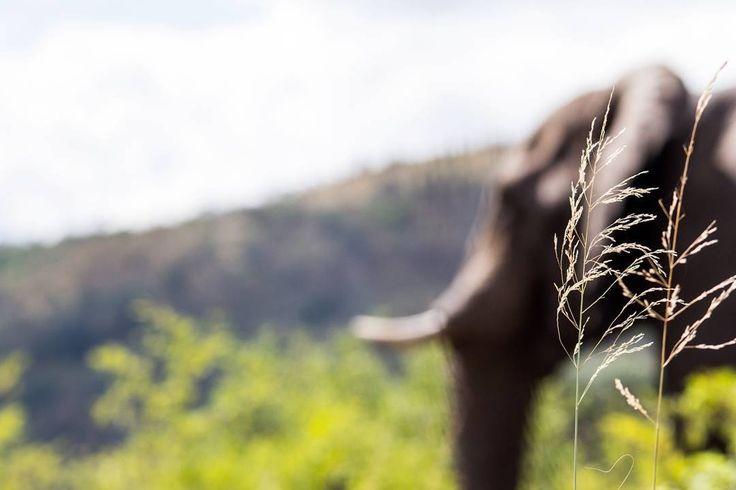 The gentle giant silently moving through life past all potential dangers. #hip #hluhluwe #imfolozi #gamereserve #hluhluwegamereserve #elephant #gentlegiant #oneofthebigfive #naturereserve #wildlifephotography #wildlife #wildlifephoto #natural #naturephotography #canonphotography #canon #photobug #photographer #photography #canon_photos #pixel_panda #instagramza #instagramsa #southafricaza #loves_southafrica #southafricaza #kzn #kznwildlife #ezemvelo #ezemvelonaturereserve…