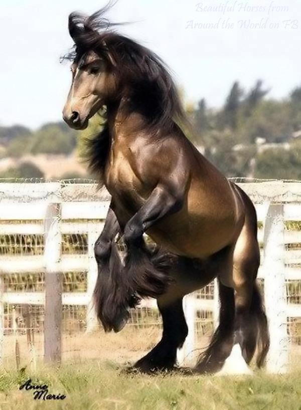 Beautiful, burly, feathered draft horse.