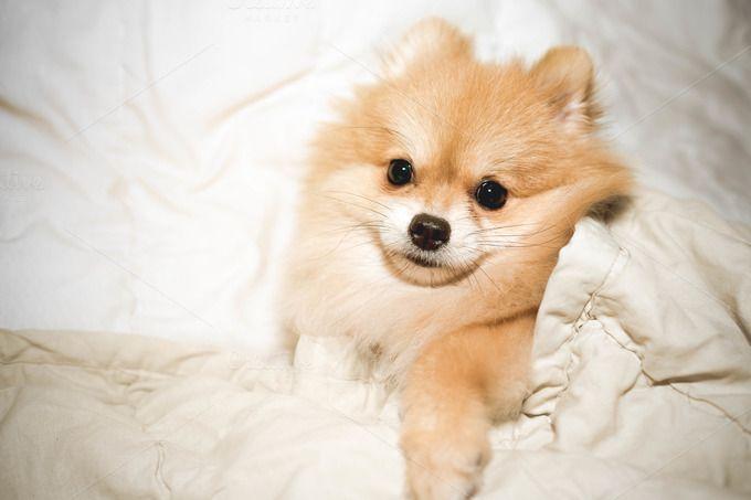 pomeranian dog by Pattarawat on @creativemarket