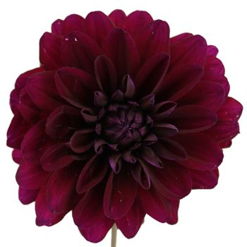 Fresh cut burgundy Dahlia flowers are decorative globe-shaped flowers with many colorful petals. This Burgundy Berry Dahlia is shipped fresh and direct from our farm and would be add a perfect splash of color to any wedding flower arrangement or bouquet. Shipping included!