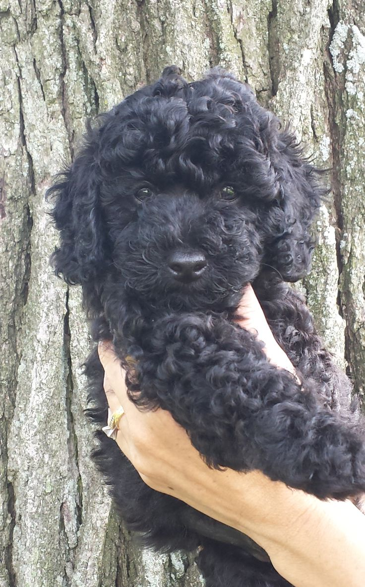 Black labradoodle... Looks like my Rocco!