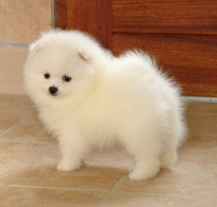 I WANT ONE! It's a Japanese spitz.