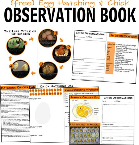 FREE Hatching Baby Chicken Egg Observation Book to help teach preschool and homeschool kids about the lifecycle of chickens while observing if first hand #homeschool #freeprintable #science