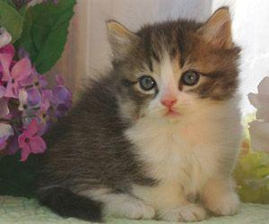 Himalayan cat breeders in iowa