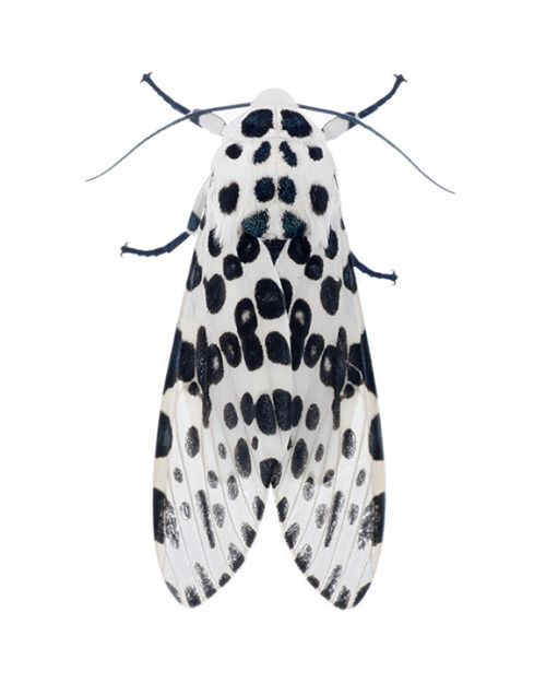 theleoisallinthemind:  Hypercompe scribonia / Giant Leopard Moth (8146) byTodd Hooligan