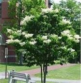 Japanese Lilac Tree White Flowers 5 Seeds by CheapSeeds on Etsy, $2.75