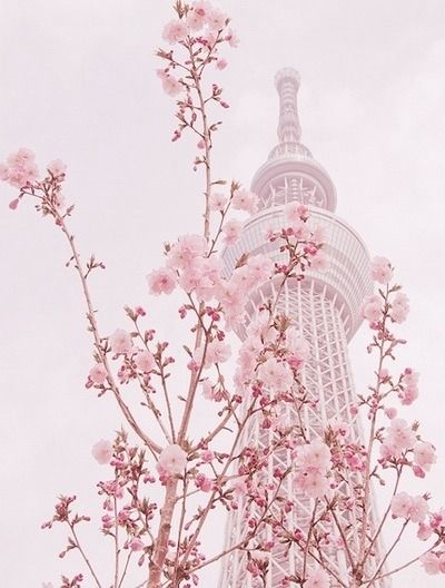 Cherry Blossom Aesthetic Iphone Background Cherry Blossoms Japan
