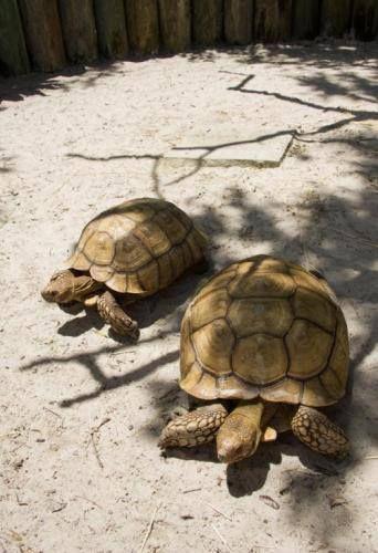 Hoje é o último dia para ajudar o #Aquatica a nomear a mais nova integrante do seu grupo de animais! O nome da tartaruga macho é Motu (à esquerda), mas eles precisam da sua ajuda para nomear a tartaruga fêmea! Clique na foto e dê o seu voto... O nome vencedor será anunciado amanhã.