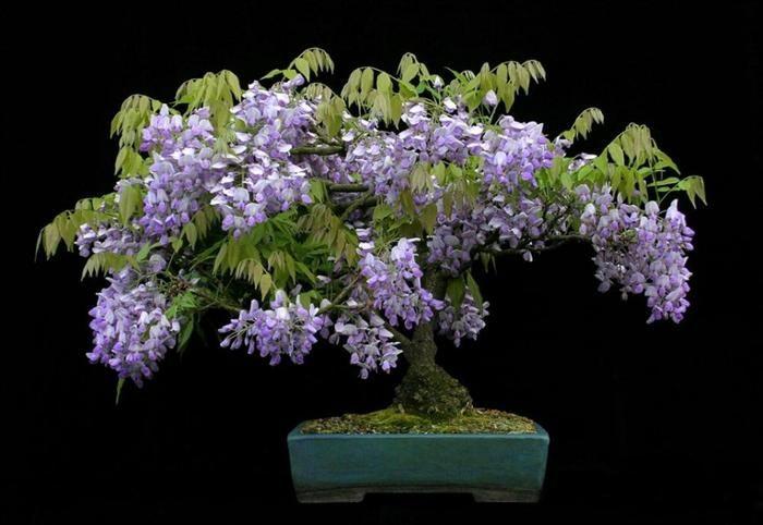 bonsai trees  Wisteria Bonsais