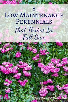 Full Sun Perennials: 8 Low Maintenance Plants That Thrive In The Sun   These low maintenance perennials all have pretty flowers and will brighten up your full sun garden border. Even better...they don't require a lot of work to make your landscaping look beautiful.