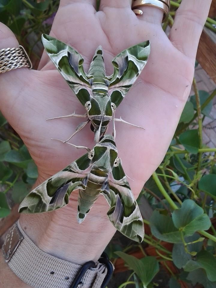 Check out these Hawk Moths from my friend's garden, never seen anything like them before! - Imgur