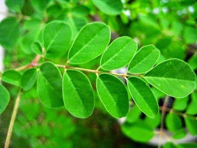 manfaat daun kelor