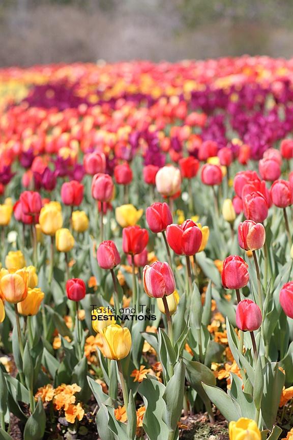 Thanksgiving Point Gardens - Tulip Festival - Utah   www.tasteandtellblog.com