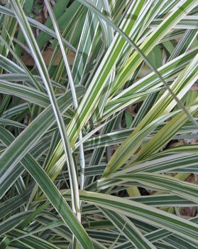 Varigated maiden grass from jane ek foliage is for White ornamental grass