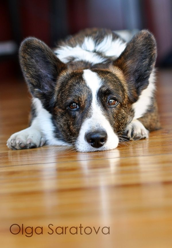 Cardigan Welsh Corgi - if i had him my life would be complete.