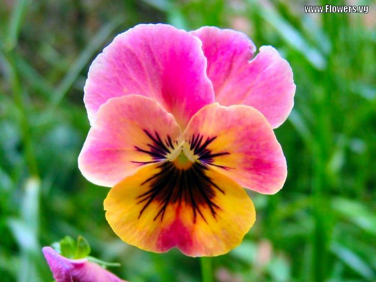 pansy flowers | Pictures of pink & yellow pansy flowers with free backgrounds and free ...