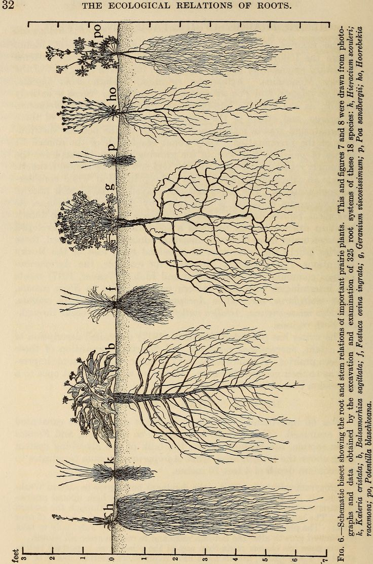 "Image from page 45 of ""The ecological relations of roots"" (1919) 
