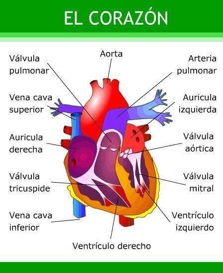 Resultado de imagen para el corazón y sus partes para niños