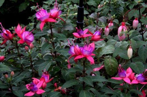 fushia Pink Fantasia Les Saints de glace sont passés. A vos jardinières !