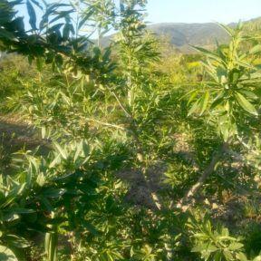 Καλλιέργεια Αμυγδαλιάς με ζεόλιθο στη Λάρισα
