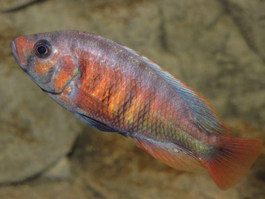 """Pundamilia sp. """"crimson tide"""""""