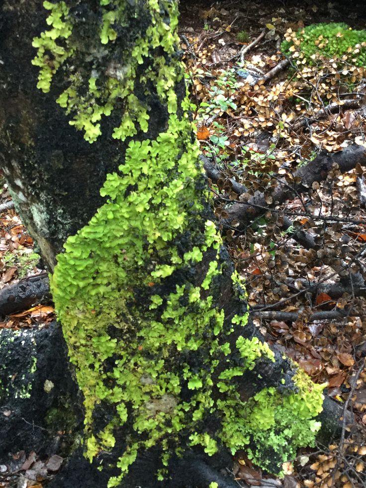 Lichen on a beech tree, Lake Rotoiti
