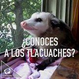 El tlacuache, un animal ancestral mexicano!! Quiero uno!! #comericocomesanonosotroslopreparamos #meencantalapalapa
