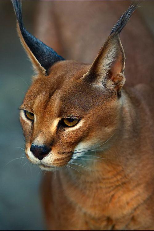 Lynx with deep-thinker's eyes.                                                                                                                                                                                 Mais