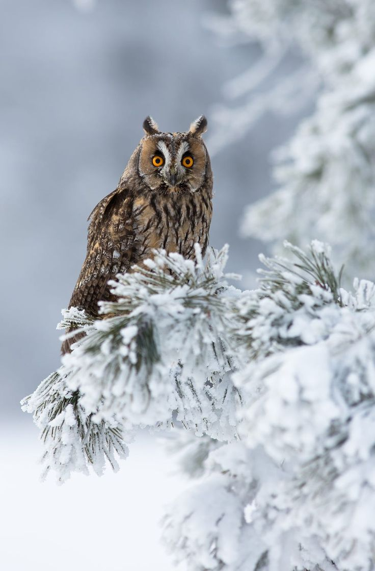 Owl on snow covered evergreen