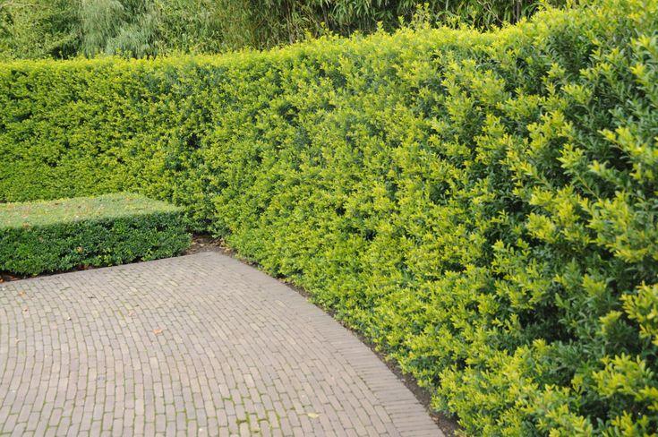ilex crenata 39 green hedge 39 japanse hulst haagplanten. Black Bedroom Furniture Sets. Home Design Ideas