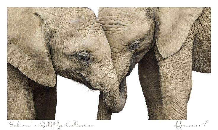 """Embrace"" {Wildlife Collection} by Francoise V"