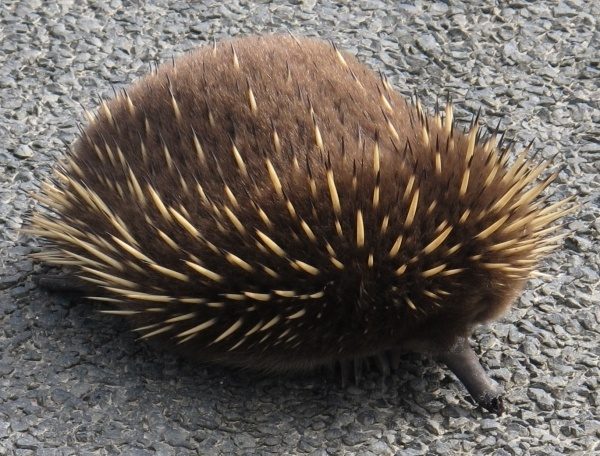 A Tasmanian echidna, Tachyglossus aculeatus, near Wynyard, Tasmania, which is much colder, which may explain the furriness, but more likely, it is a juvenile.