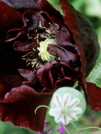 "Papaver Somniferum ""Black Peony"": Plants Editing, Peonies Poppies, Black Peonies, Somniferum Black, Products, Opium Poppies, Poppies Hellebor"