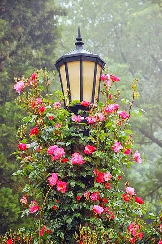 Climbing roses! Must be beautiful when the light shines on the roses...