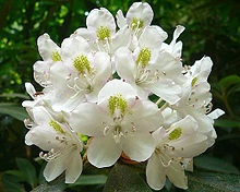 Rhododendron maximum — also called great rhododendron, great laurel, rosebay rhododendron, American rhododendron or big rhododendron — is a species of Rhododendron native to eastern North America, from Nova Scotia south to northern Alabama.