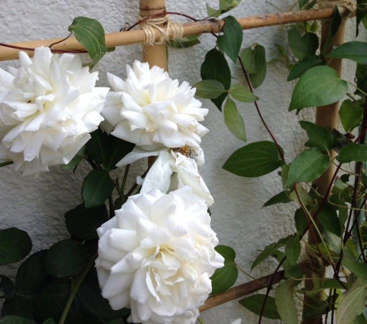 Bamboo trellis DIY ; Gardenista - Provided by Gardenista